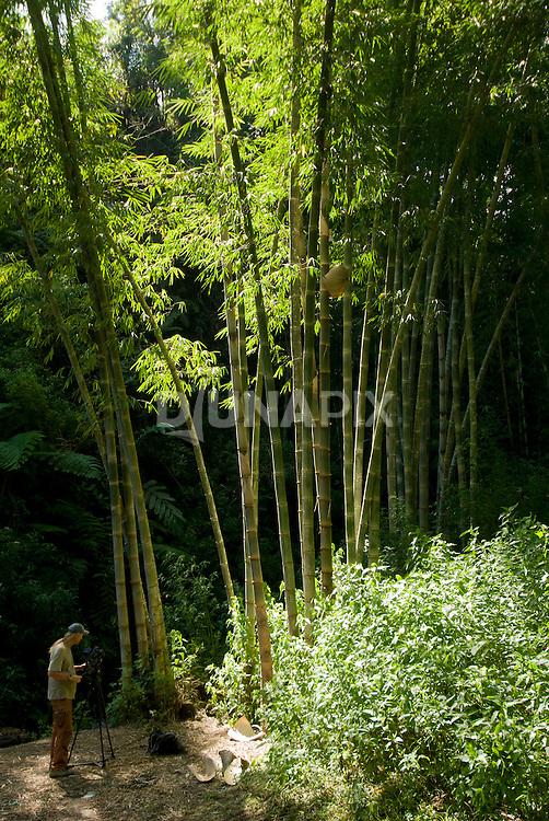 Film maker Joe Yaggi sets up his camera beneath a backlit stand of giant bamboo
