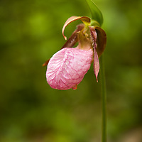 Pink Lady's Slipper (Cypripedium acaule).  <br />