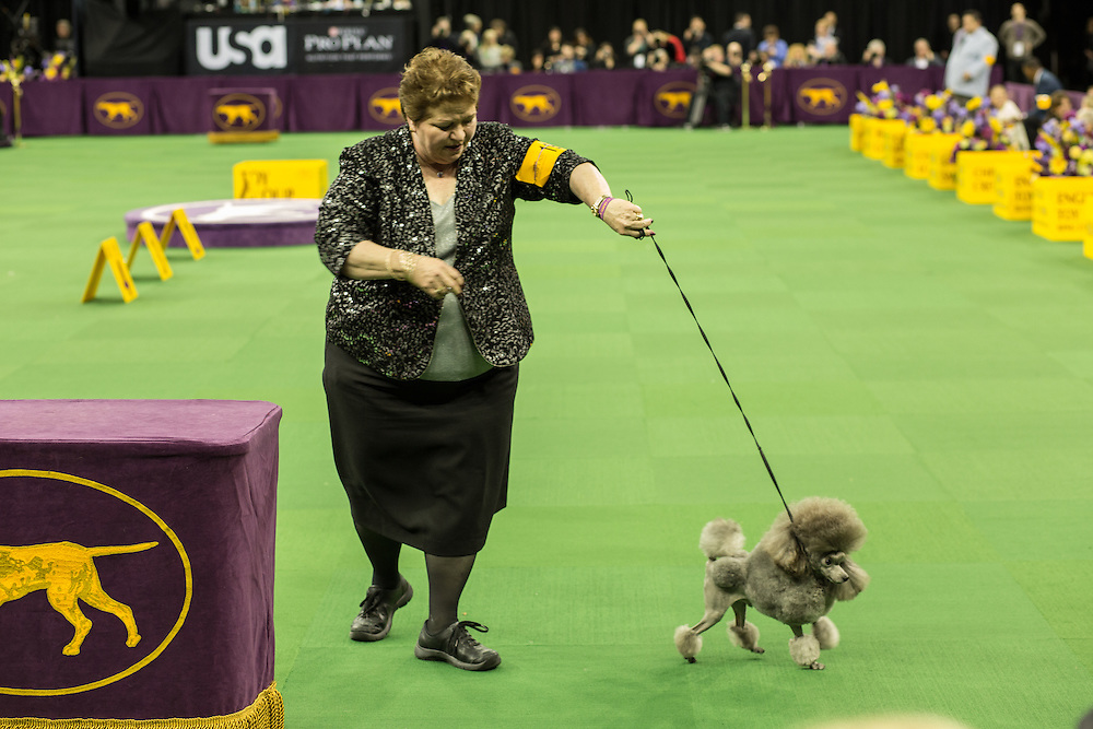 New York, NY - 16 February 2015. Toy poodle Lomar Swag's One Tin Soldier in the ring for the toy group competition at the 139th Westminster Kennel Club Dog Show.