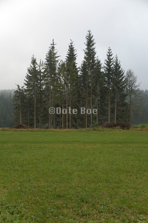 group of pine trees with still a little fog Black forest Germany