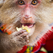 A for-hire monkey poses for a portrait in Yang Shao China.