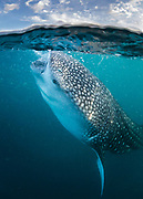 Upon returning to La Paz, our dive boat took a quick detour to try finding whale sharks. To our luck, we encountered a juvenile feeding near the surface. As all the other tourist boats had departed long ago, we were able to have a private encounter with this wondrous creature while it continued its afternoon snack. Taken off of La Paz, Baja Mexico