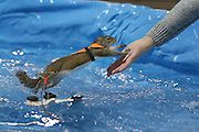 Toronto, ON, Canada - <br /> Twiggy leaps to Louann Best's hand after several laps of her pool. Twiggy the Water Skiing Squirrel gets in some practice runs before her shows at the Toronto International Boat Show that runs January 8-17 at the Enercare Centre . at the Canadian National Exhibition in Toronto. Twiggy is an Eastern Gray squirrel. The Best family Louann and her son Chuck Jr. have been doing these shows for decades. This is Twiggy VIII, there is a Twiggy IX, they share shows. The squirrels always wear lifejackets as water safety is a theme of the show, <br /> ©Exclusivepix Media