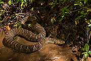 Northern water snake (Nerodia sipedon)<br /> Clayton, Georgia<br /> USA<br /> HABITAT & RANGE: Near and in water throughout eastern and central USA