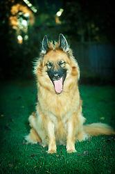 Alsatian, German shepherd dog, yawning, England, UK.