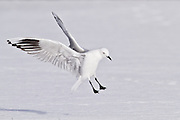 Black-billed Gull, endangered, New Zealand