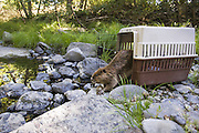 North American Beaver<br /> Castor canadensis<br /> Rescued beaver (found sick on vineyard) being released into the wild after rehabilitation by Sonoma County Wildlife Rescue<br /> Sonoma County, CA