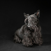 Portrait of Scottish Terrier