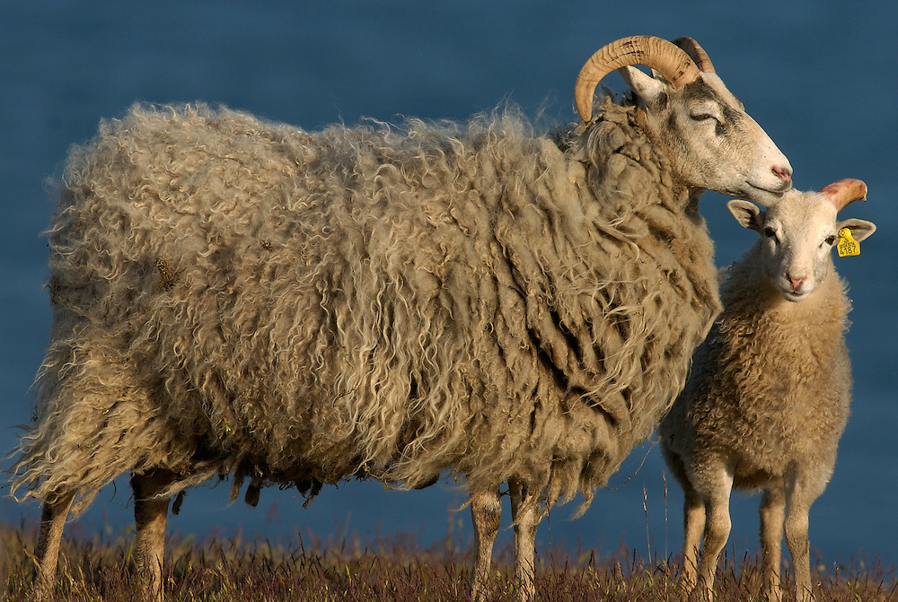 Ancient and endemic Gotland sheep race, Stora Karlsö island, Gotland, Sweden
