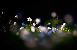 THEMENBILD - Buschwindröschen bei Sonnenuntergang auf einer Wiese im Wald, aufgenommen am 18. April 2018 in Kaprun, Österreich // Wood anemone at sunset on a meadow in the forest, Kaprun, Austria on 2018/04/18. EXPA Pictures © 2018, PhotoCredit: EXPA/ JFK