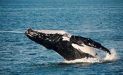 A humpback whale breaching on the Kimberley coast.