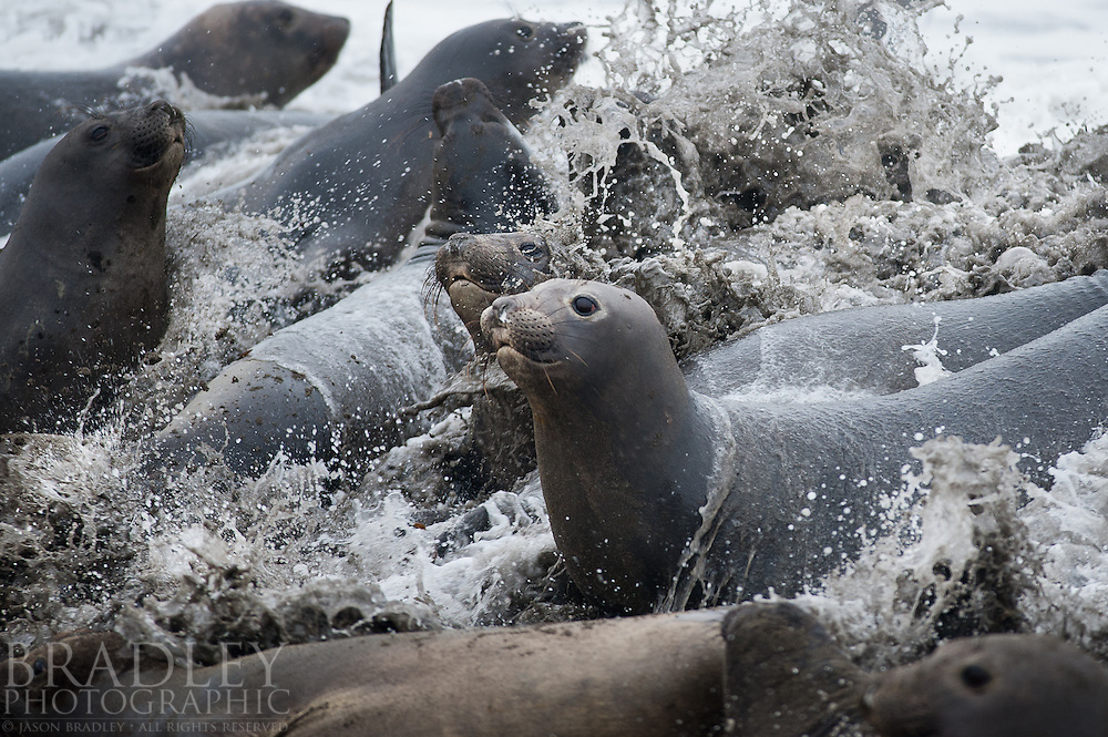 During one of the highest tides of the year, water surged into a grouping of female elephant seals at a rookery in central California.  Their were a lot of new pups around too, so the seals were startled...Shot with a  Nikon D700 (can't wait for D800E already ordered) at f4, 1/400 sec, ISO 800, with a 300mm f2.8 lens