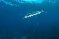 Great Barracuda and Divers..Shot in British Virgin Islands