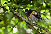 Stitchbird, New Zealand