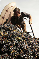 Clos Roche Blanche, Loire Valley....grape harvest in the Loire Valley....photographs by Owen Franken for the NY Times.... ............................