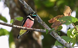 Black-and-yellow Broadbill, Eurylaimus ochromalus, Tabin Wildlife Reserve, Malaysia, by David Hoddinott