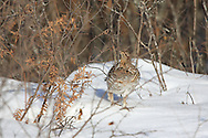 Ruffed Grouse Eating Willow Buds