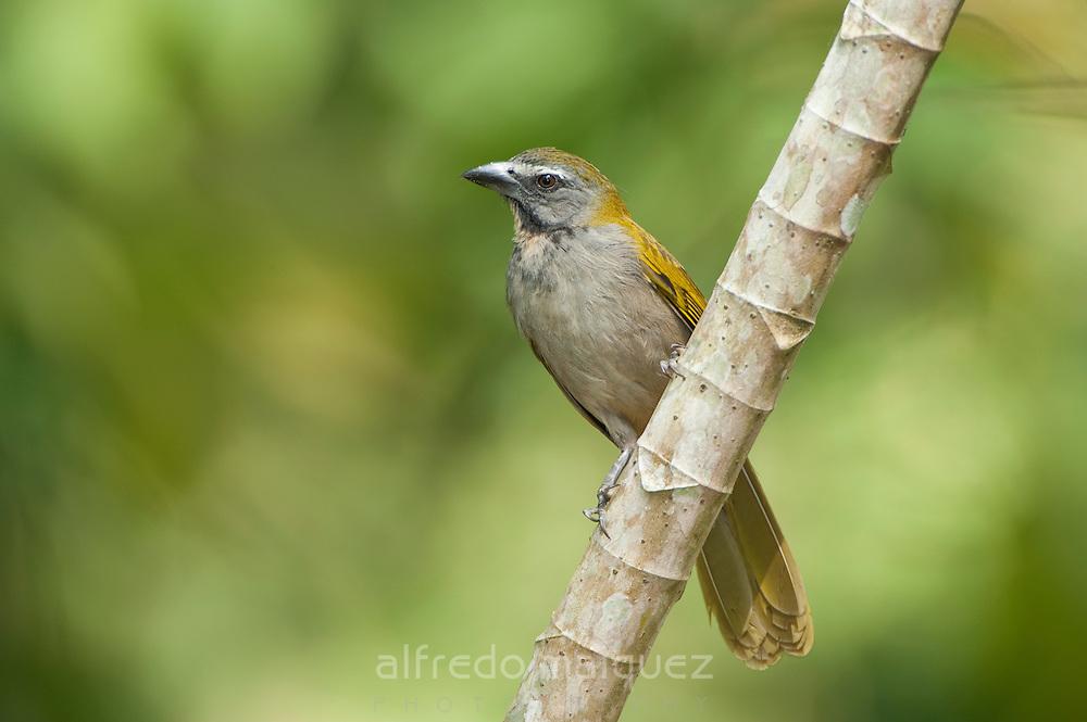 Buff-throated Saltator (Saltator maximus intermedius), Soberania national park, Panama, Central America