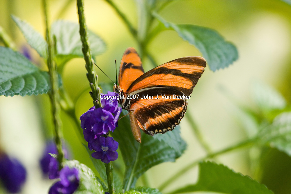 Orange Banded Tiger Longwing Butterfly on purple flower.