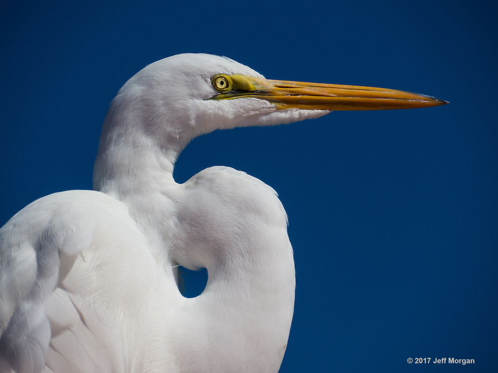 Portrait of the American Egret