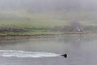 A bison swims across the Yellowstone River in the Hayden Valley