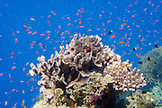 Various Anthias fish (pseudanthias) and Bicolor chormis (chromis margaritifer) schooling around coral on Agincourt Reef, Great Barrier Reef, Queensland, Australia.
