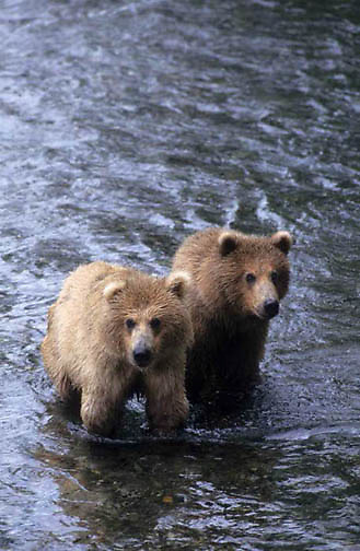 Alaskan brown bear (Ursus middendorffi) pair of cubs. Brooks Falls on the Brooks River, Katmai National Park, Alaska