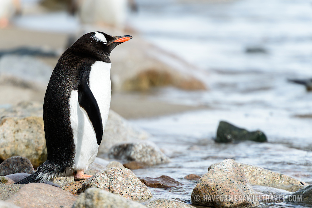 A Gentoo penguin stands on a rock on the shoreline at Neko Harbour on the Antarctic Peninsula.