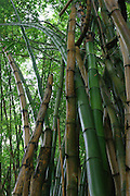 Bamboo, Hawaii<br />