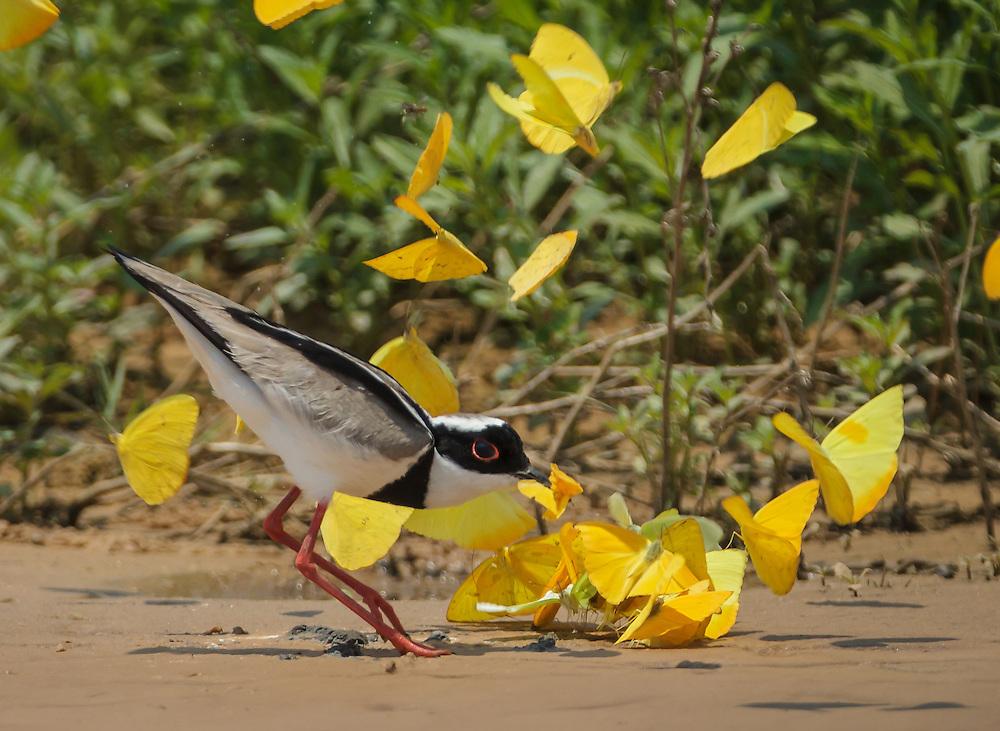 Vanellus cayanus, Brazil