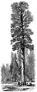 The Keystone State, Californian Redwood 325 feet high in Yosemite National Park.  Yosemite designated as a state park in 1864, then made a national park in 1890 together with surrounding territory. Wood engraving c 1875
