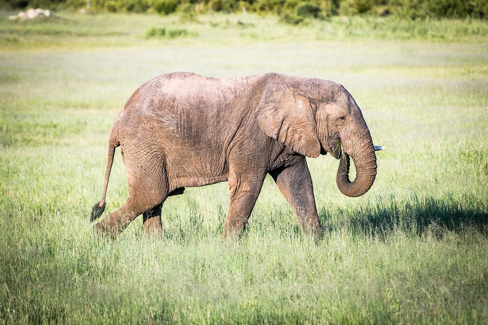 An elephant grazes on the grasses of the wetlands of Hwange National Park. Hwange, Zimbabwe