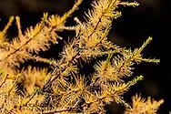 Tamarack aka larch needles in autumn in Glacier National Park, Montana, USA