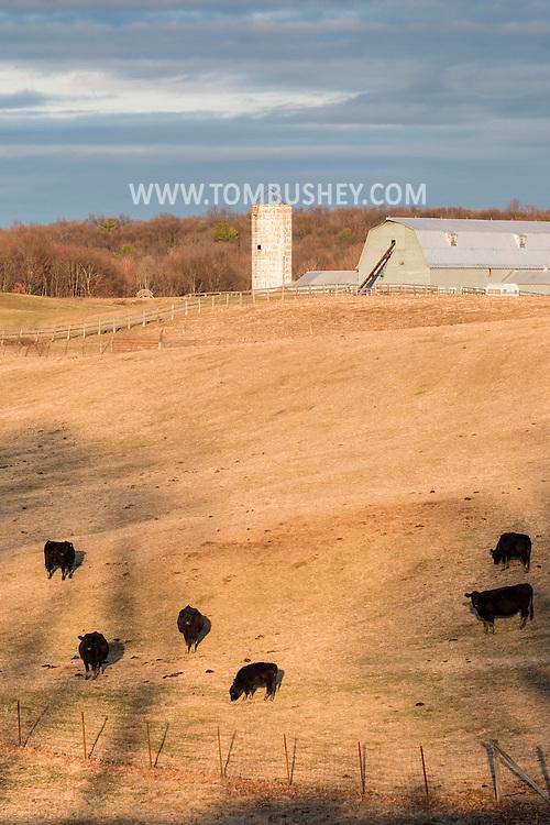 Mouint Hope, New York - Cattle graze in a field at Pierson's Farm on March 15, 2016.