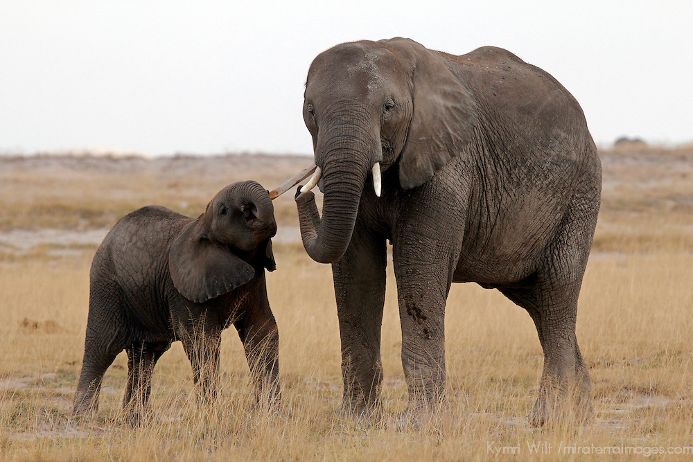 Africa, Kenya, Amboseli. Young elephant and it's mother play with a stick.