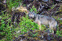 Wild gray coastal wolf in British Columbia, Canada