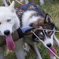 Dogs prepare for competition during the FISTC Dog Cart European Championships in Venek (about 136 km Norht-West of capital city Budapest), Hungary on November 22, 2014. ATTILA VOLGYI