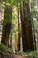 Walking through the Redwoods at Redwoods National Park in California.