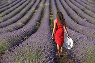 Woman in red dress walking through blooming field of Lavender near the town of Gordes, Vaucluse, southeast France, Provence, Europe<br /> model release 0351