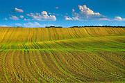 emerging crop in spring<br /> Treherne<br /> Manitoba<br /> Canada
