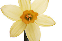 Yellow daffodils on a white background