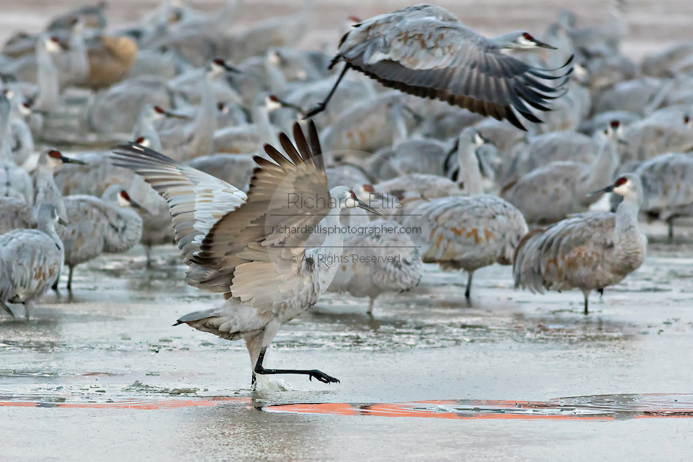 Sandhill Cranes work to free themselves from a frozen marsh as they fly off to the feeding ground after spending the night at the Bosque del Apache National Wildlife Refuge in San Antonio, New Mexico. The cranes freeze in place as night temperatures drop and then free themselves when the sun warms the water.
