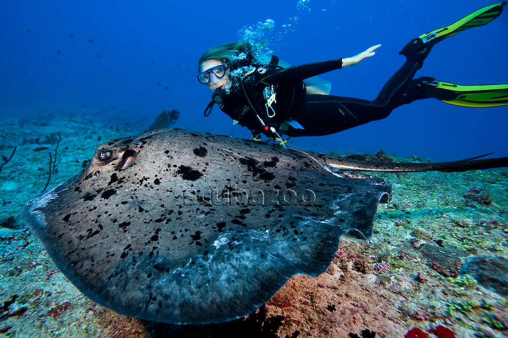 A Marble Ray, Taeniura meyeni, and diver swimming side by side over reef, profile, side view, Vaavu Atoll, The Maldives