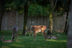 Whitetail deer in backyards of residential development along the north boundary of Camp Strake, Conroe, Texas