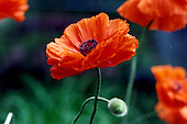 Poppy Editorial and Stock Photos