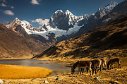Donkeys grazing under Jirishanca, 6090 metres, Mitococha lake, Cordillera Huayhuash, Andes mountains, Peru
