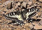 Swallowtail butterfly, family Papilionidae on Mount Dickerman, Mount Baker-Snoqualmie National Forest, Washington, USA.