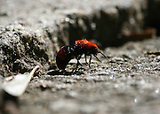 A wingless wasp called a Velvet Ant or Cow killer, scurrying across a rock in search of tiny insect food. They have a powerful sting that was thought to be powerful enough to kill a cow.