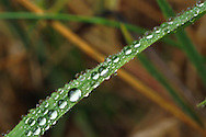 A blade of grass covered in dew drops