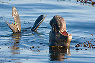 Northern Elephant Seal (Mirounga angustirostris) bellowing in the water, showing green research tags on hind flippers (thus this animal is from Ano Nuevo State Reserve, CA); Central California